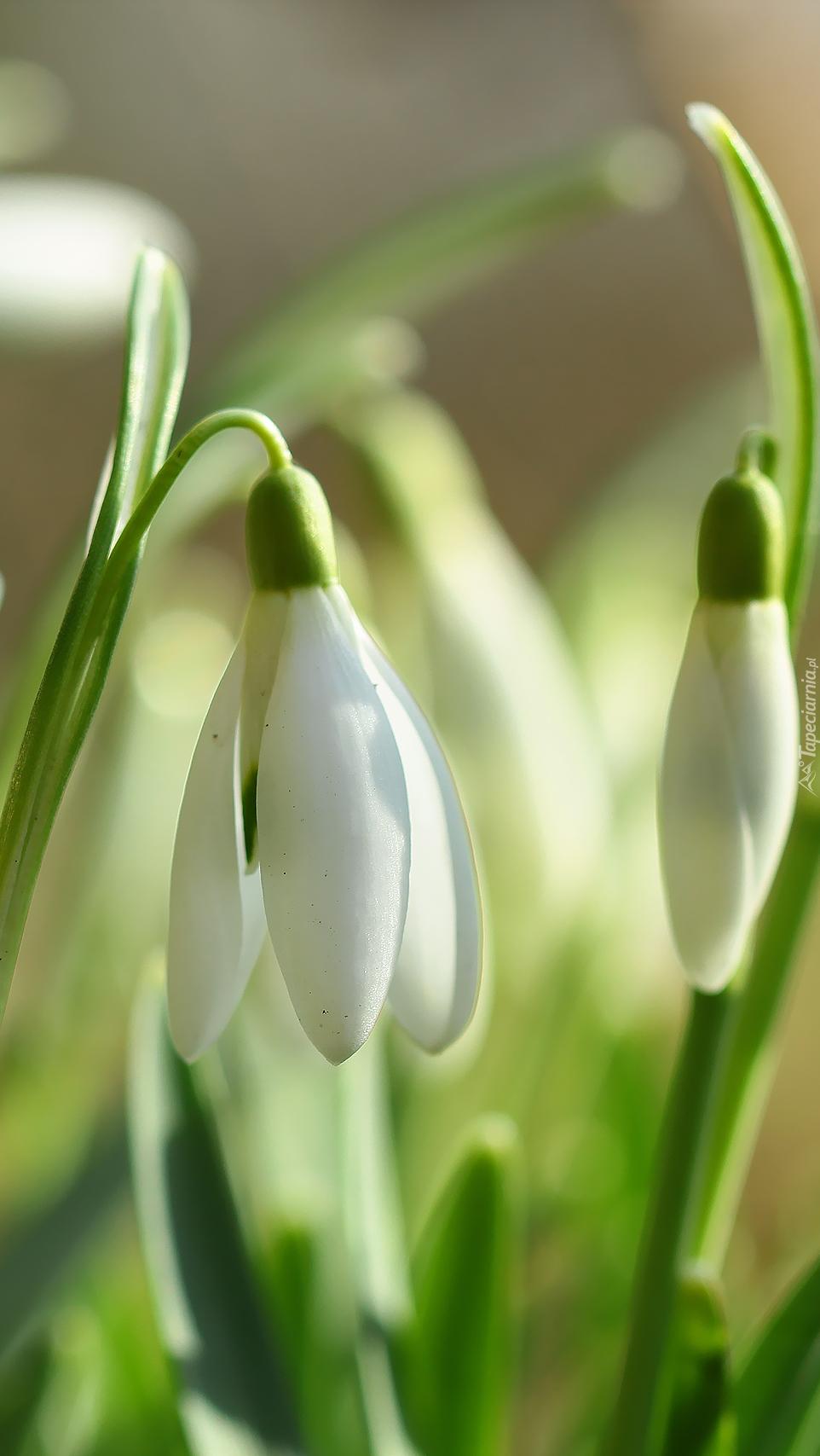 Niewinne białe oznaki kwitnącej wiosny