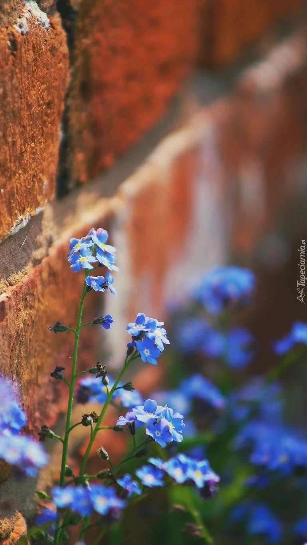 Niezapominajki rosnące pod ceglanym murem