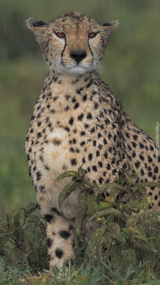 Obserwujący gepard