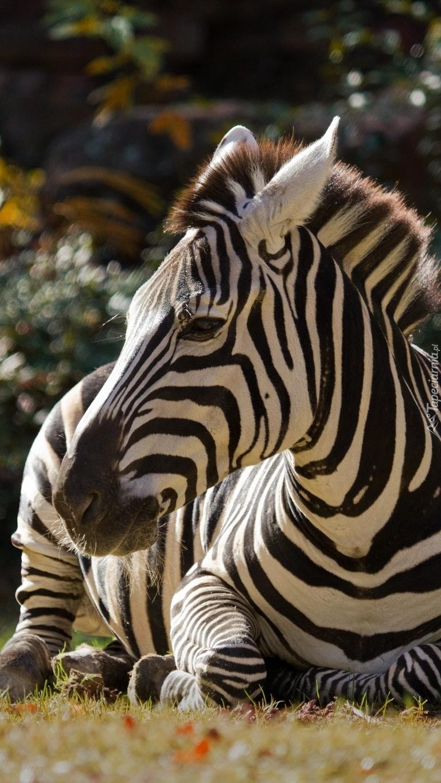Odpoczywająca zebra