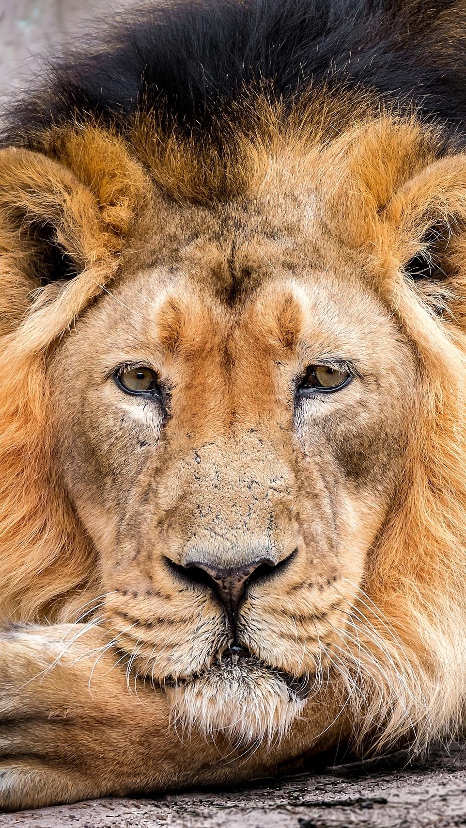 Odpoczywający lew