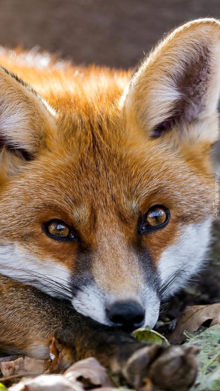 Odpoczywający lis