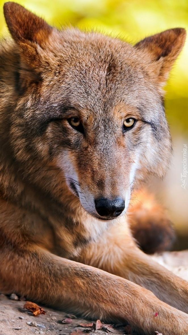 Odpoczywający wilk