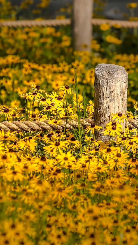Ogrodzenie w kwiatach rudbekii
