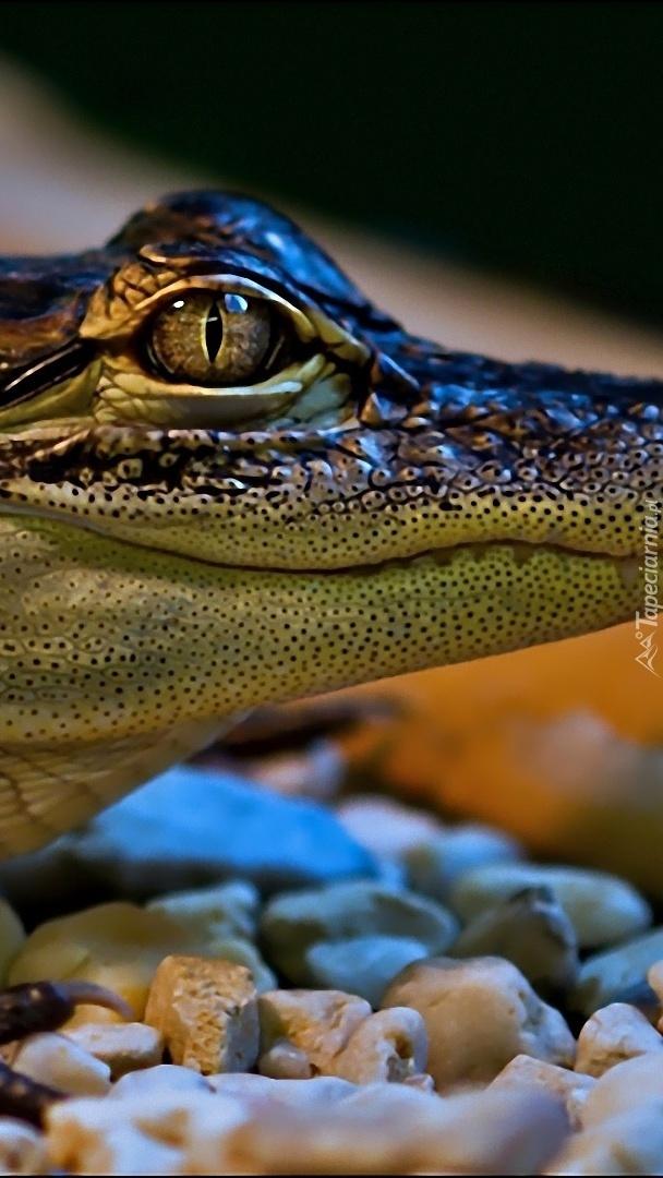 Oko krokodyla z bliska