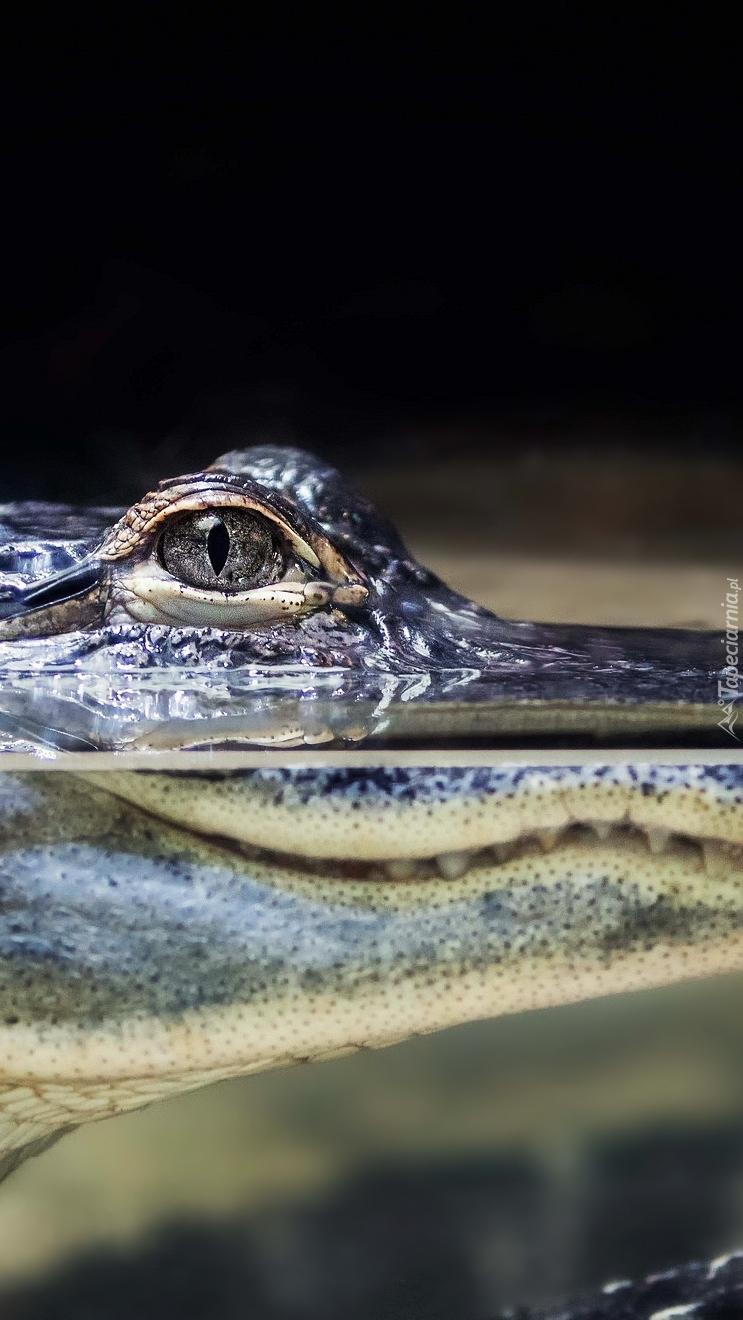 Oko krokodyla