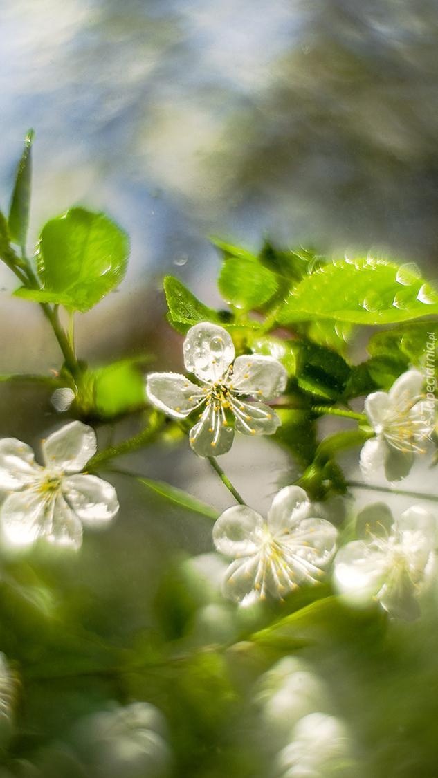 Okwiecona białymi kwiatami gałązka