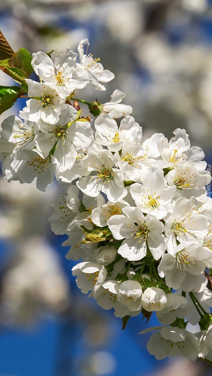 Okwiecona gałązka wiśni