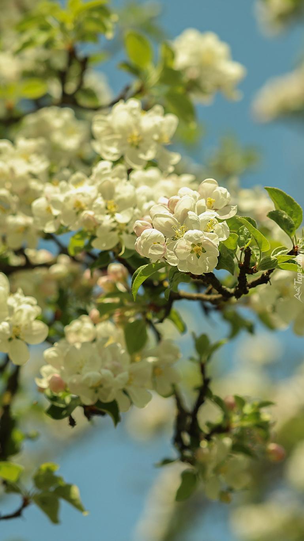 Okwiecone gałązki jabłoni