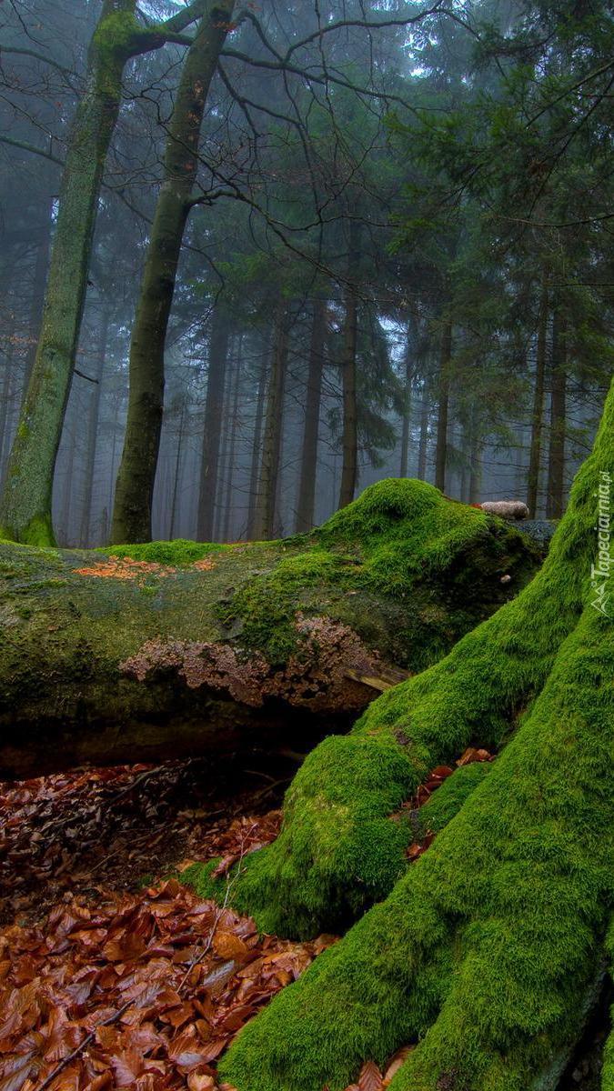 Omszałe drzewa