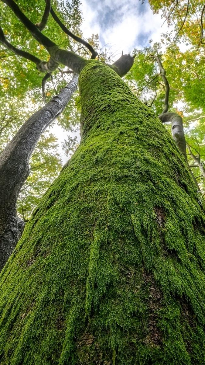 Omszałe drzewo