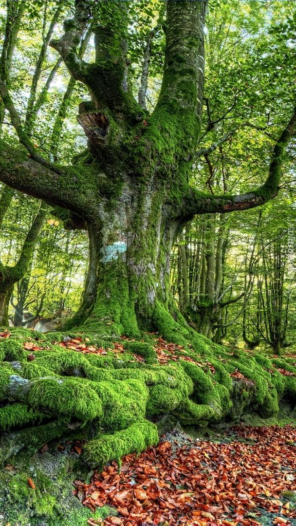 Omszałe drzewo w lesie