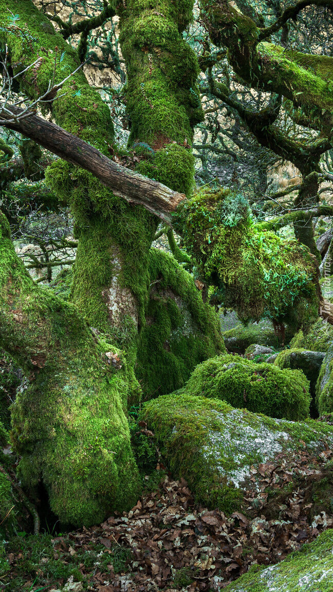Omszałe kamienie i drzewa