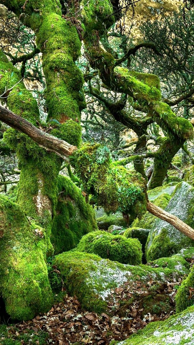 Omszone drzewa w rezerwacie przyrody Wistmans Wood