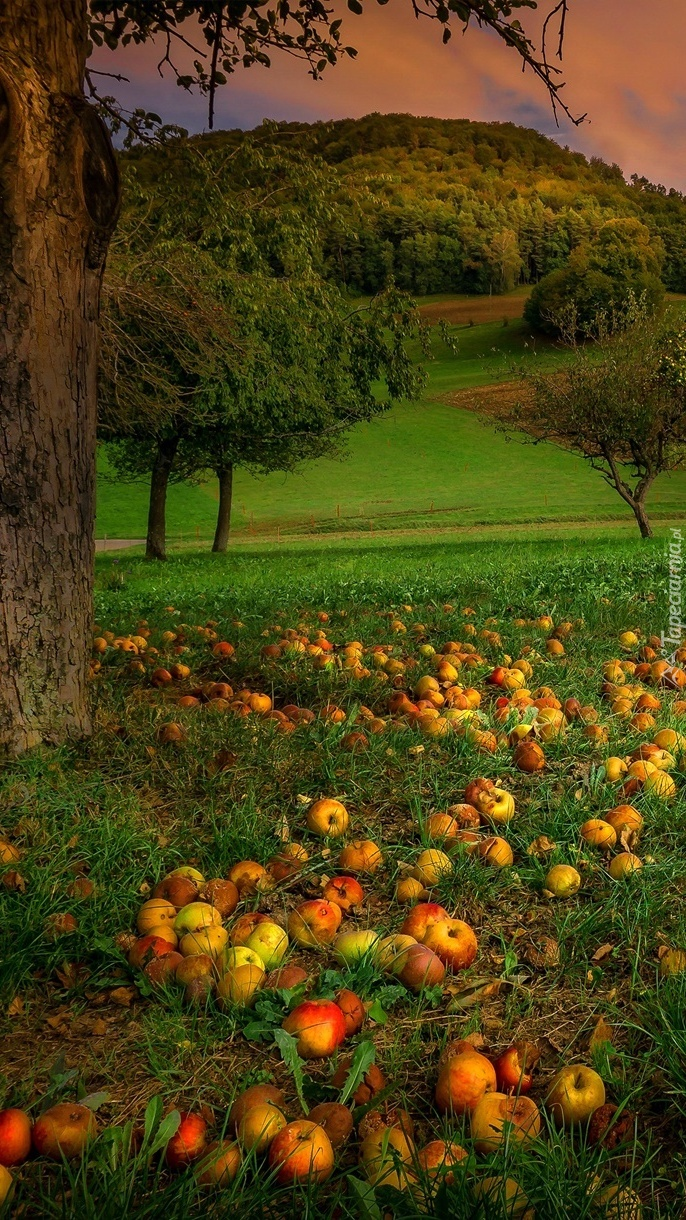 Opadłe jabłka pod drzewem