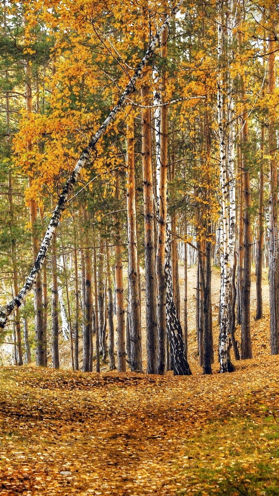 Opadłe liście pod brzozami
