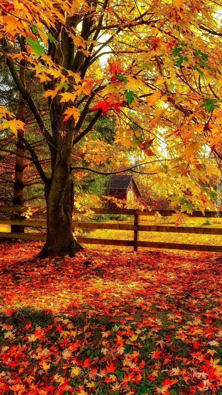 Opadłe liście pod jesiennym klonem