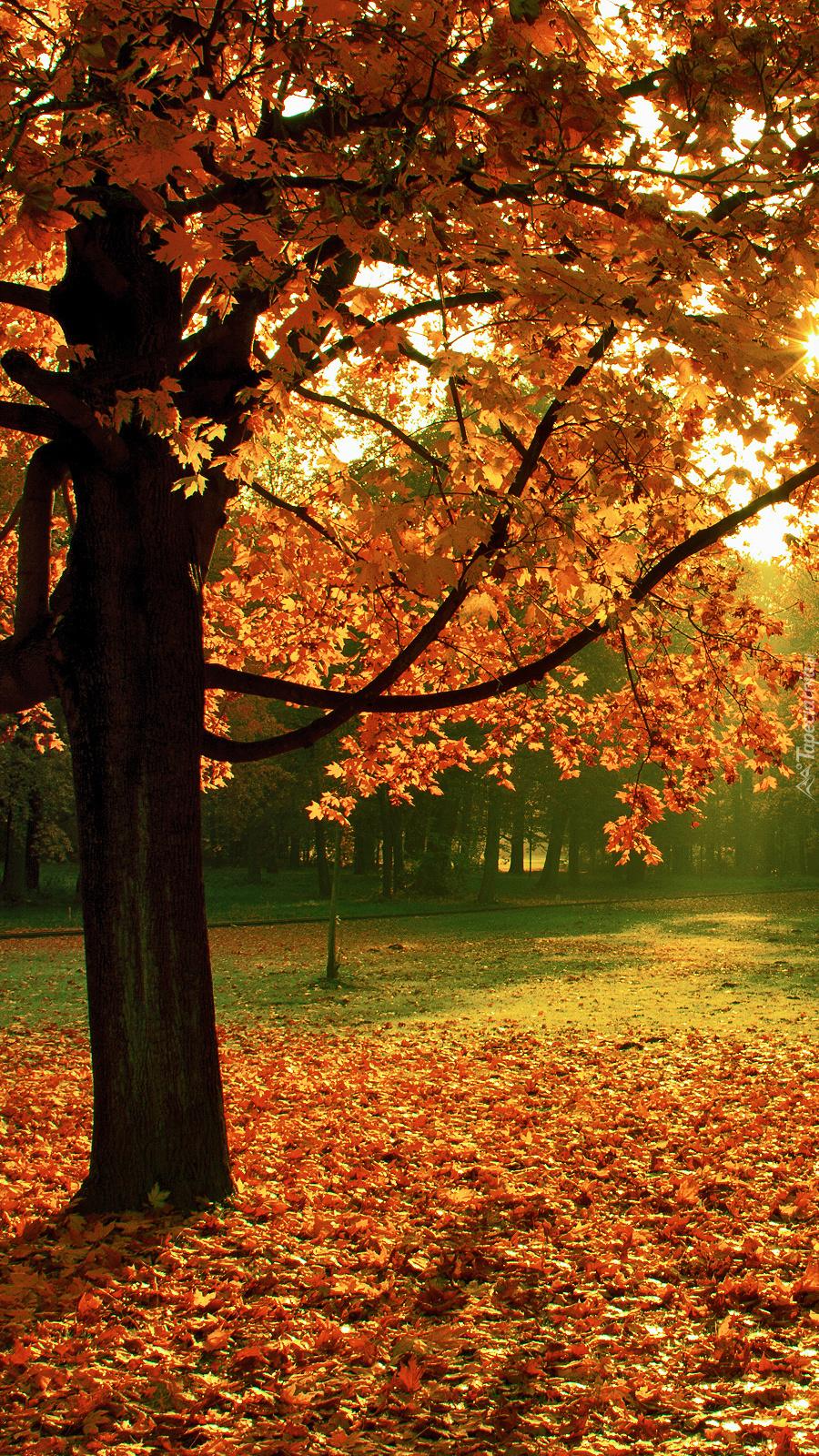 Opadłe liście pod klonem