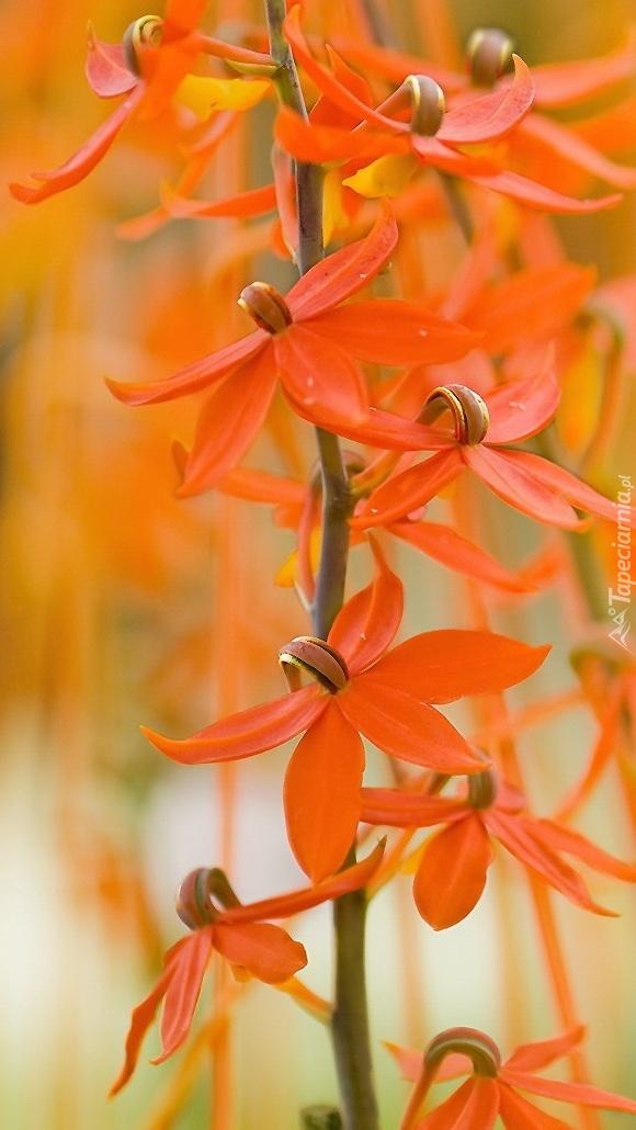 Oranżowe zwisy storczyków