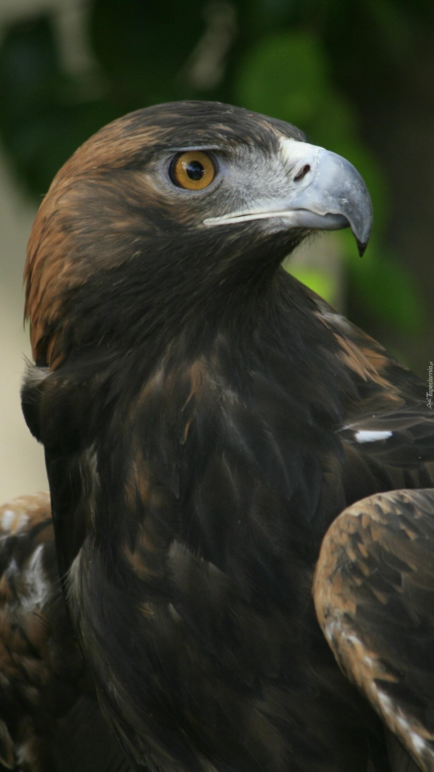 Orzeł ptak królewski