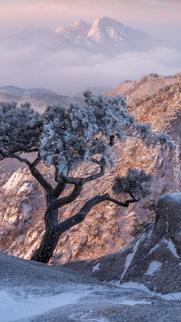 Ośnieżona sosna na skale w górach