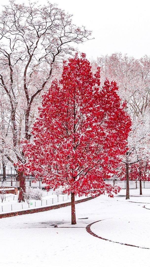 Ośnieżone czerwone drzewo