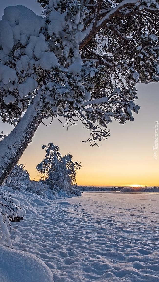 Ośnieżone drzewa