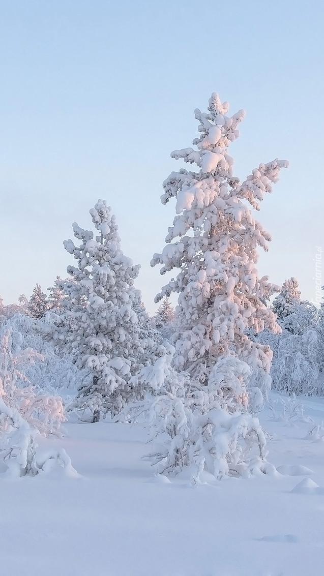 Ośnieżone drzewa i krzewy