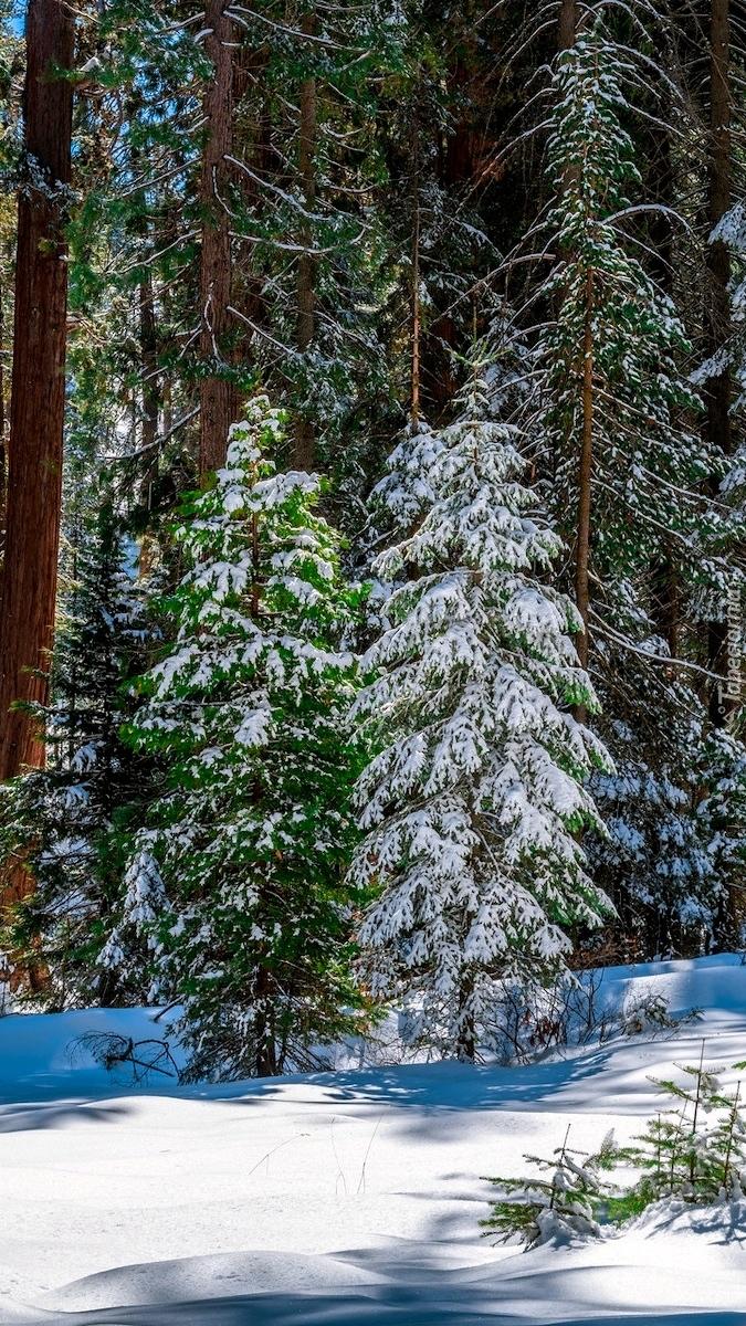 Ośnieżone drzewa na terenie Parku Narodowego King Canyon