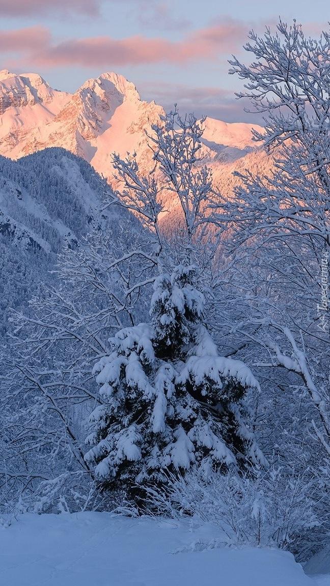 Ośnieżone drzewa na tle rozświetlonych gór