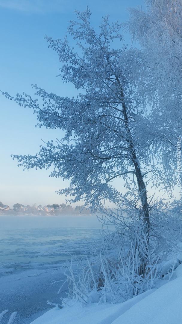 Ośnieżone drzewa nad Wołgą