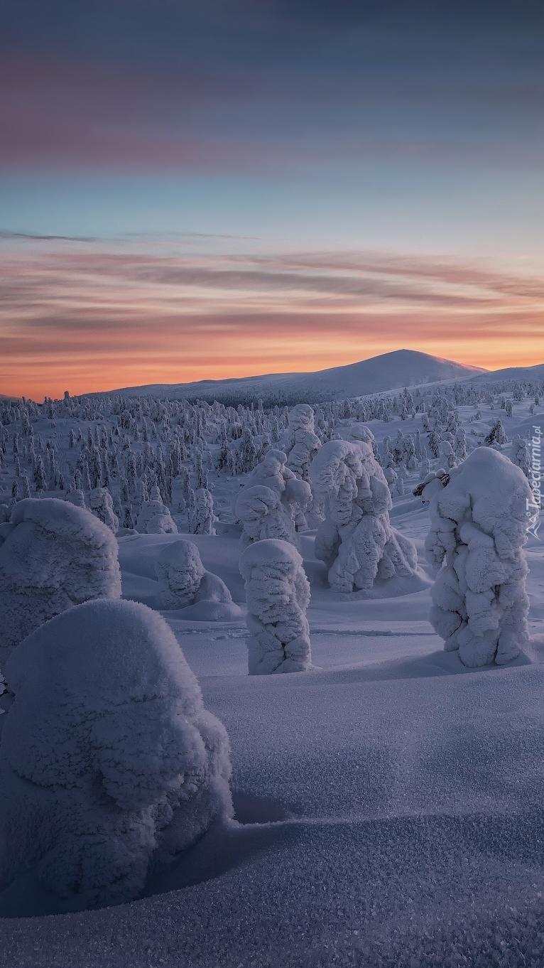 Ośnieżone drzewa o wschodzie słońca