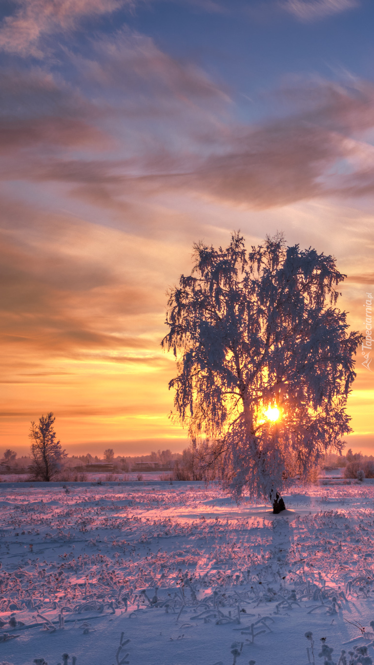 Ośnieżone drzewa o zachodzie słońca