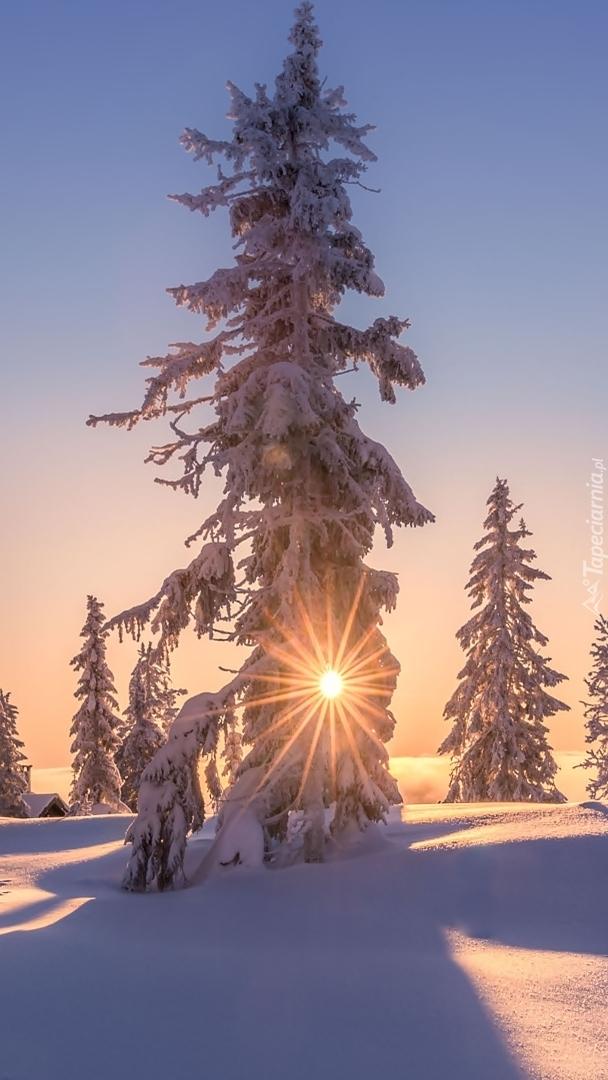 Ośnieżone drzewa w promieniach słonecznych