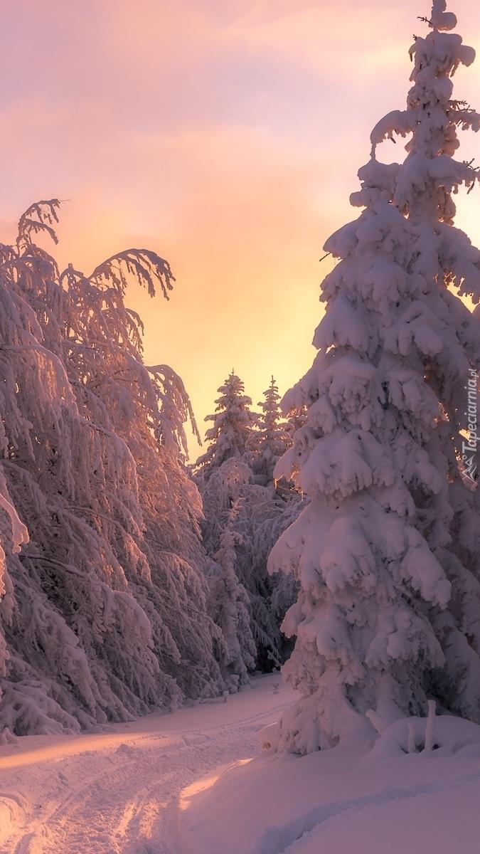 Ośnieżone drzewa w słonecznym blasku