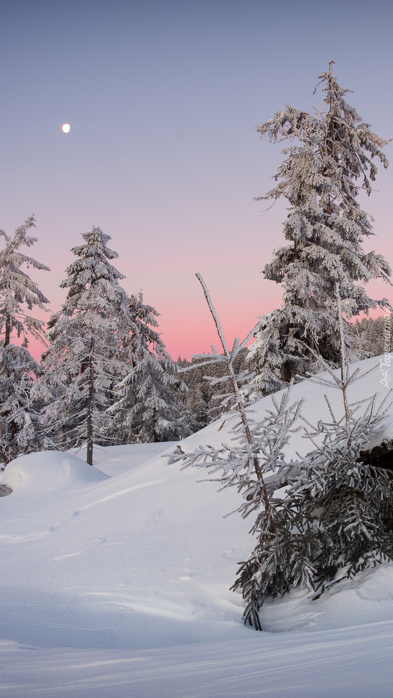 Ośnieżone drzewa w zaspach