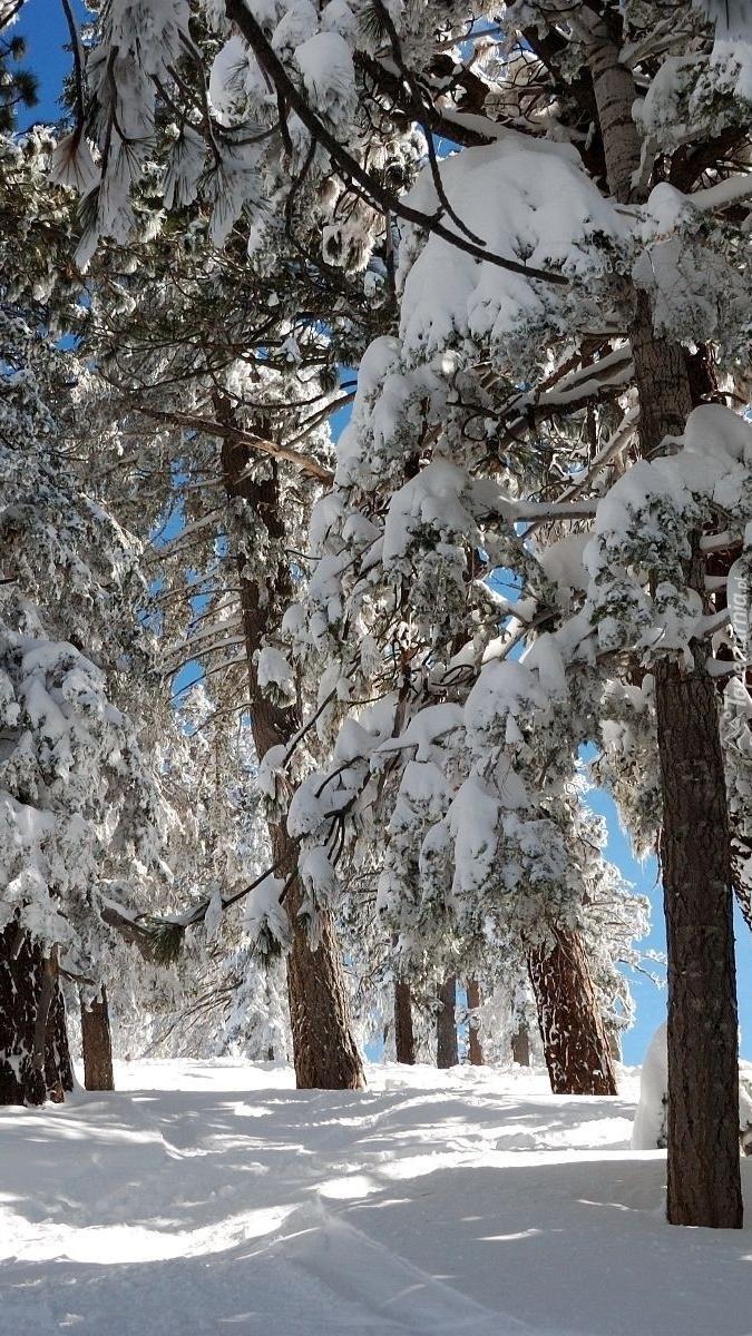 Ośnieżone drzewa zimą