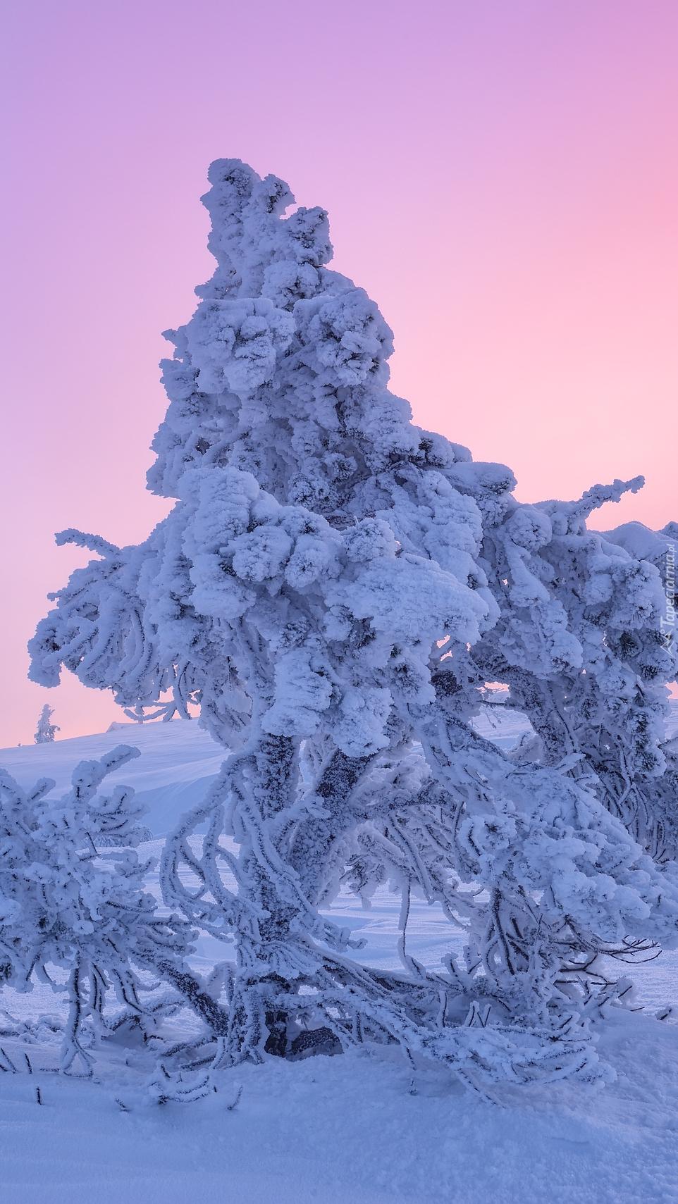 Ośnieżone drzewo