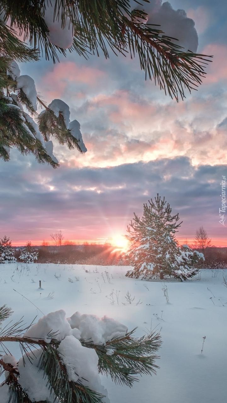 Ośnieżone gałązki na tle zachodzącego słońca