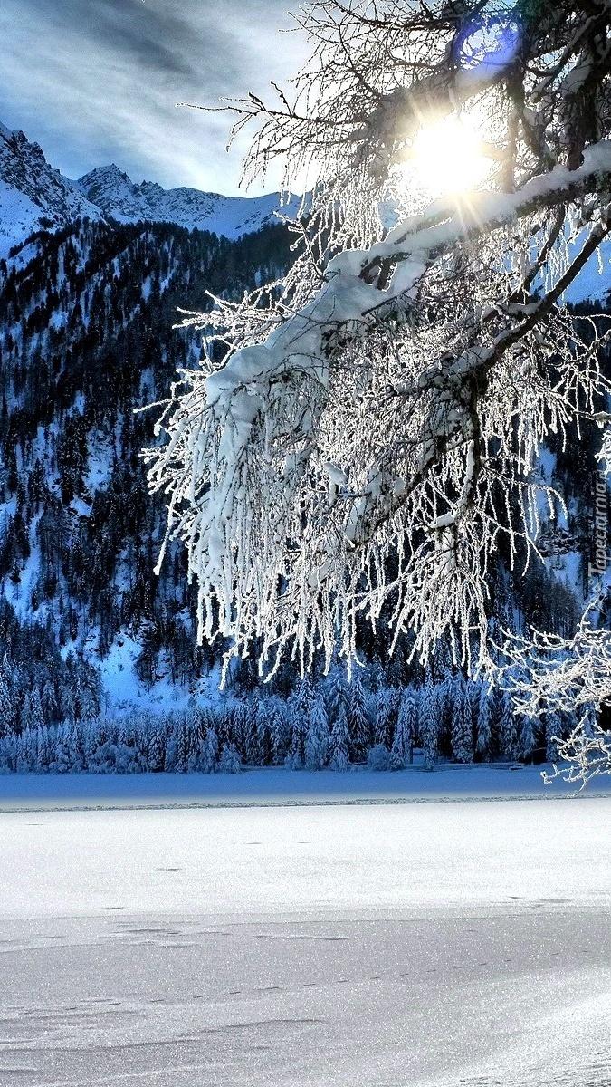 Ośnieżone gałęzie drzewa