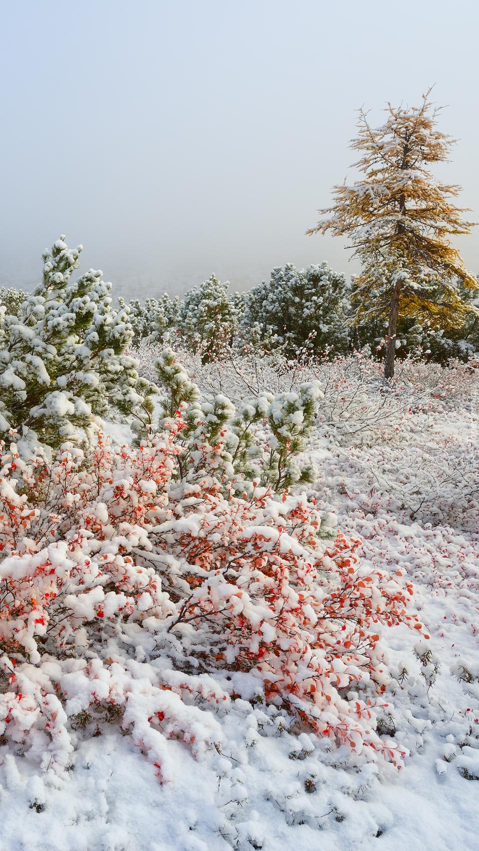 Ośnieżone krzewy w śniegu