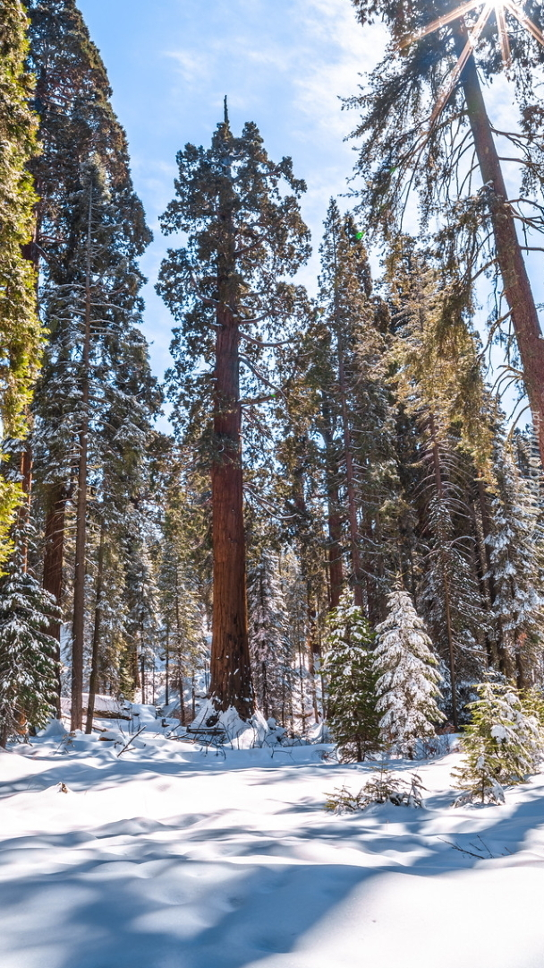 Ośnieżone sekwoje w lesie