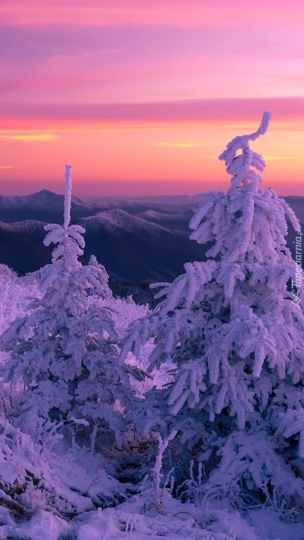 Ośnieżone świerki na tle gór