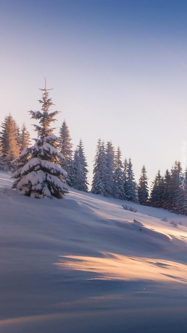 Ośnieżone świerki na wzgórzu