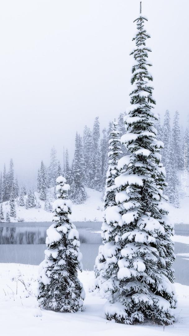 Ośnieżone świerki nad jeziorem