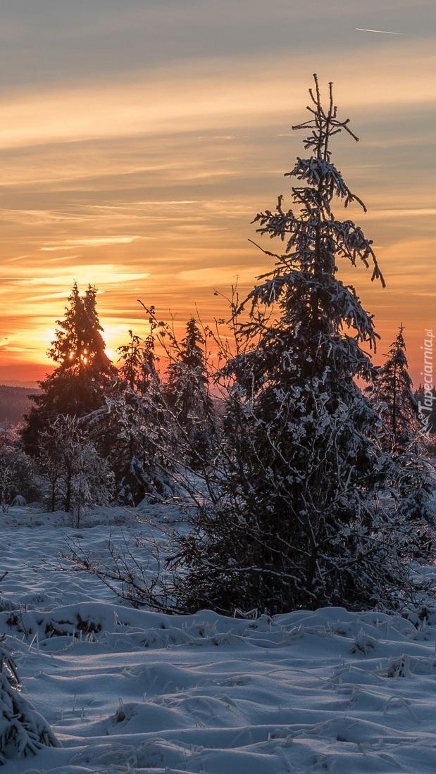 Ośnieżone świerki o zachodzie słońca