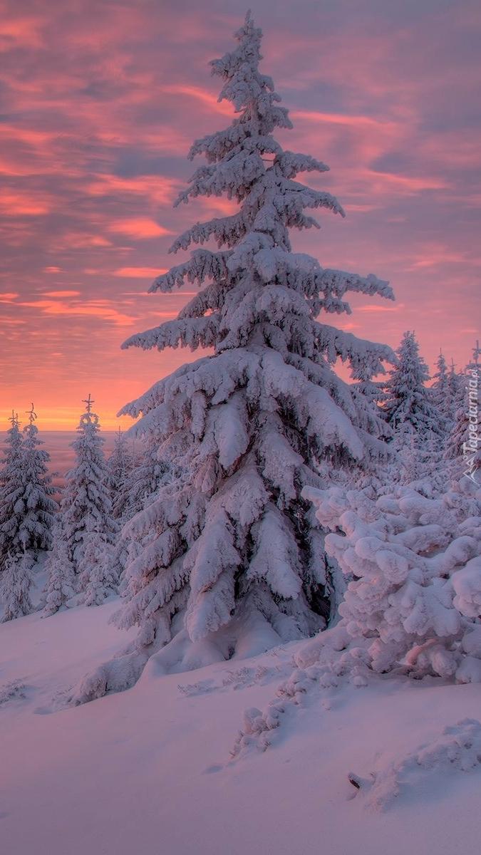 Ośnieżone świerki pod kolorowym niebem