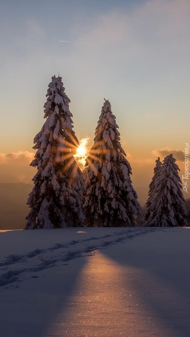 Ośnieżone świerki w słońcu
