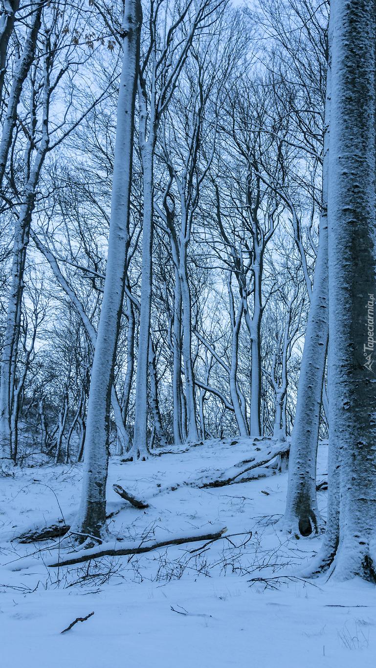 Ośnieżone wysokie drzewa