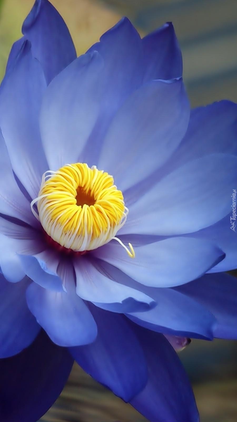 Ostatnia niebieska lilia